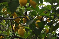 Lemons growing along the Cinque Terre trail